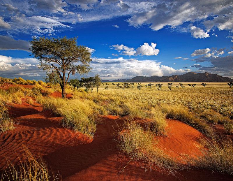 Single tree on the red dunes of Namibia.