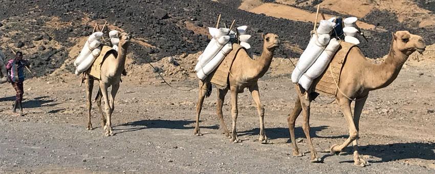 Camels in Djibouti